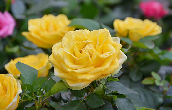 Yellow Roses Meaning and History