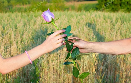 Lavender Rose Meaning love and romance