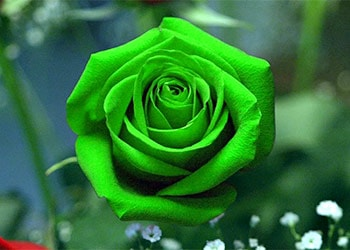 The Beautiful Green Rose Meaning
