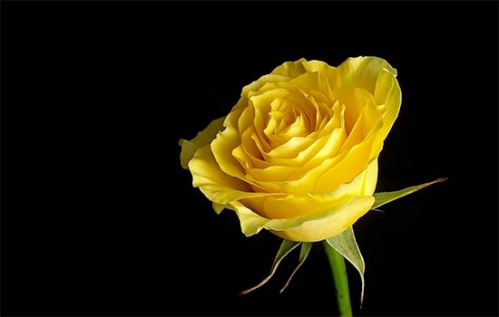 What Is Yellow Rose Symbolism