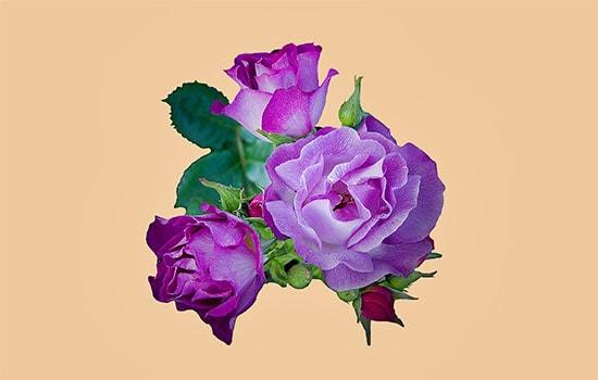 dark purple rose meaning