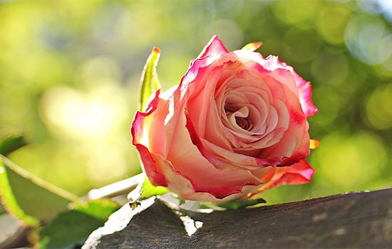 1 Rose Meaning