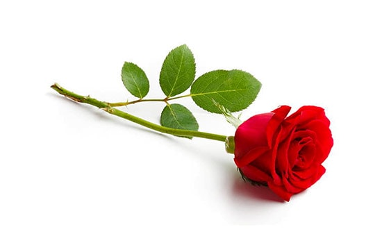 Single Rose Meaning