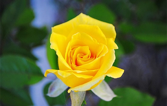Single Yellow Rose Meaning