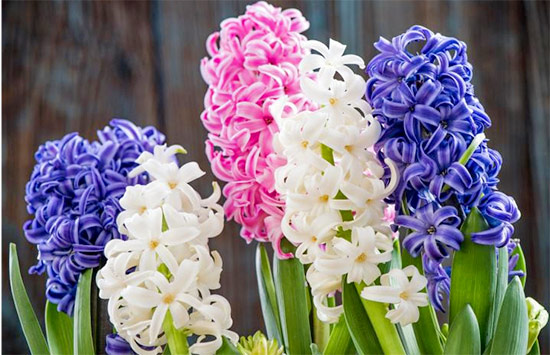 Hyacinth the flower means hope