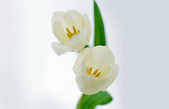 Tulips flower means forgiveness