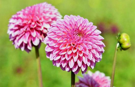 Dahlias rose meaning