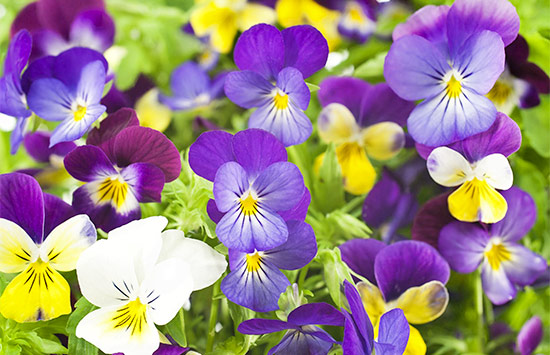 Pansy rose meaning