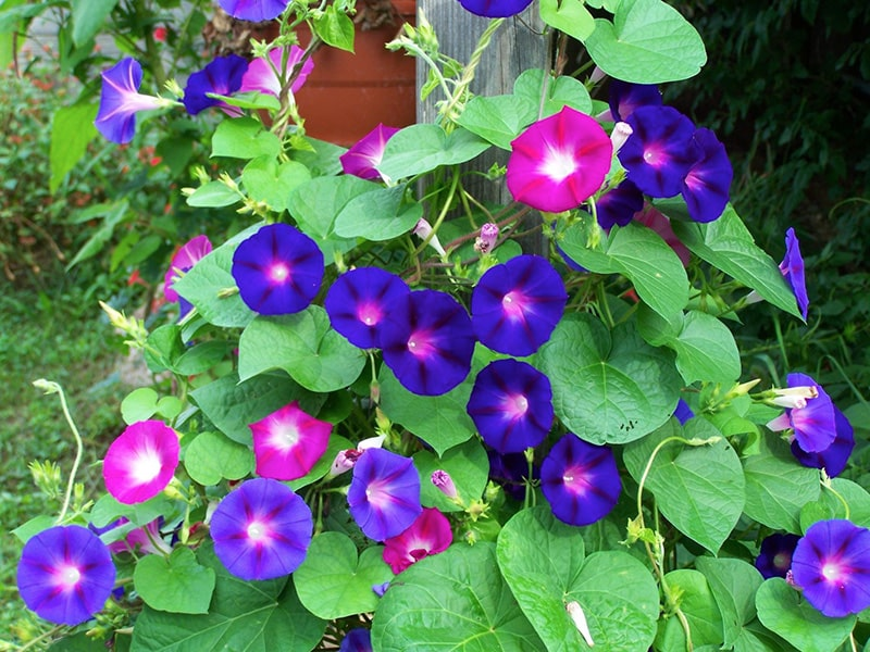 Morning glory flower meaning