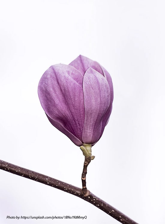 Meaning of magnolia flower