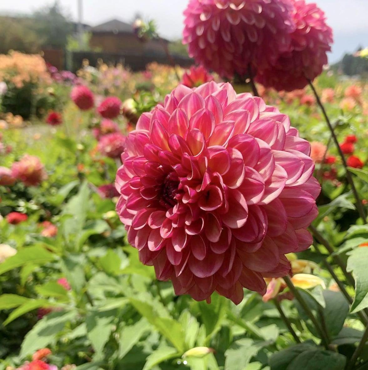 Dahlia Flower Botanical