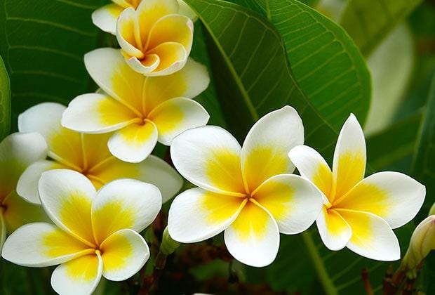 Frangipani Flower in hawaii culture