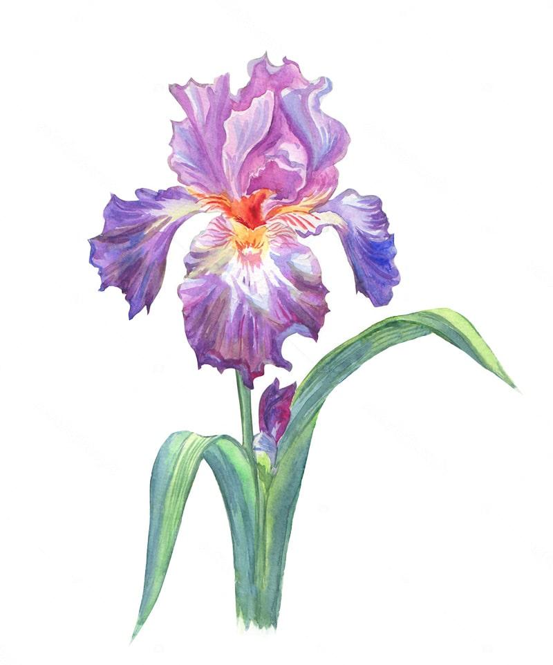 Iris flower meaning