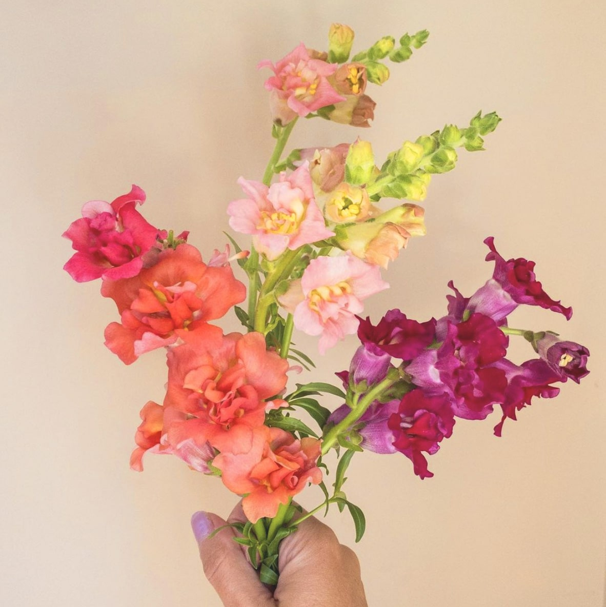 Meanings of Snapdragon Flower